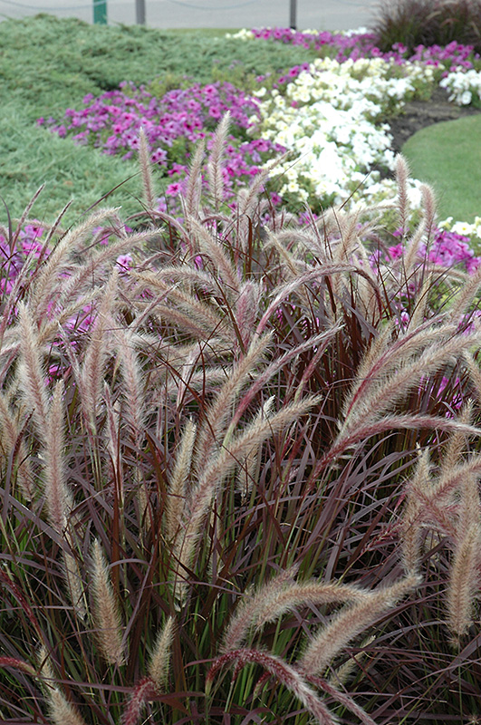 Purple fountain grass pennisetum setaceum 39 rubrum 39 in for Ornamental grass with purple plumes
