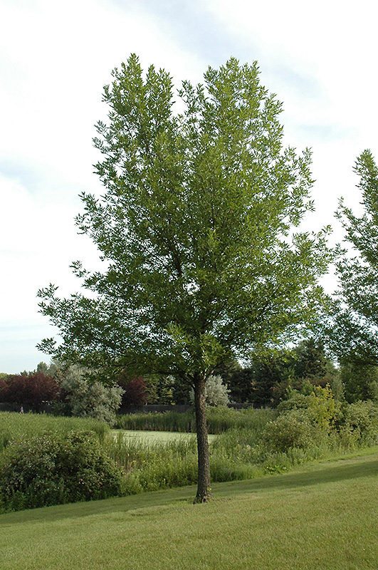 Summit Green Ash Fraxinus Pennsylvanica Summit In