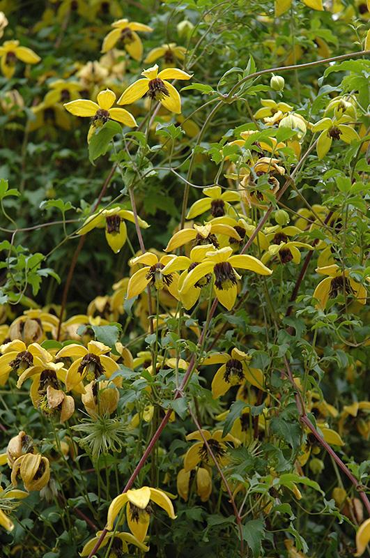 Golden Tiara Clematis Tangutica At Jensen S Nursery Landscaping