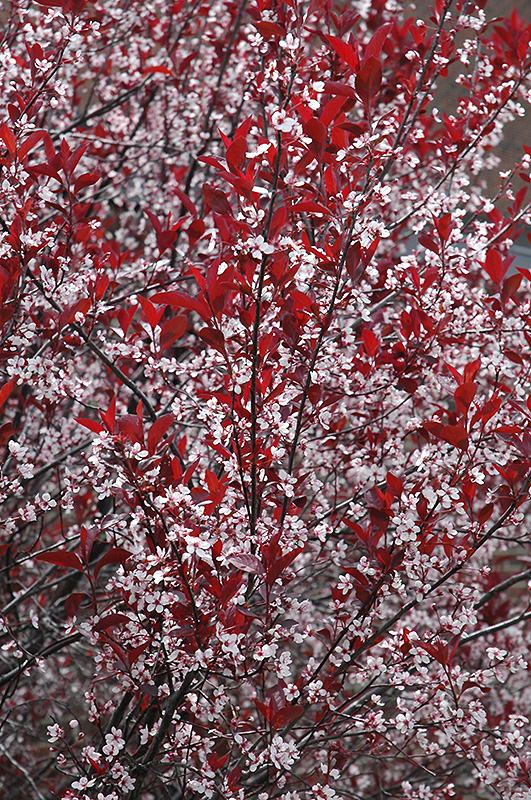 purpleleaf sandcherry prunus x cistena in winnipeg whyte