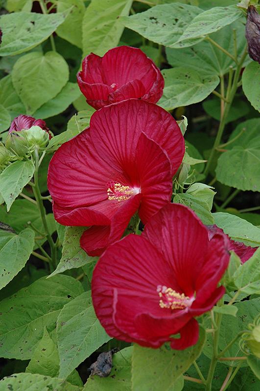 Luna Red Hibiscus Hibiscus Moscheutos Luna Red In Winnipeg