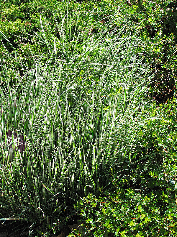 Variegated oat grass arrhenatherum elatum 39 variegatum for Variegated grass plant