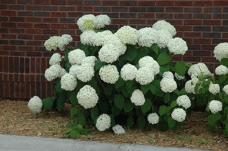 Incrediball® Hydrangea (Hydrangea arborescens 'Abetwo') in Winnipeg