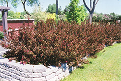 Wine and Roses® Weigela (Weigela florida 'Alexandra') at Jensen's Nursery & Landscaping