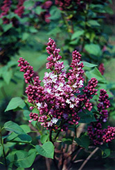 Belle de Nancy Lilac (Syringa vulgaris 'Belle de Nancy') at Jensen's Nursery & Landscaping