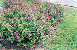 Dart's Red Spirea (Spiraea x bumalda 'Dart's Red') at Jensen's Nursery & Landscaping