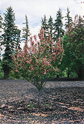 Shaughnessy Cohen Flowering Crab (Malus 'Shaughnessy Cohen') at Jensen's Nursery & Landscaping