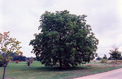 Black Walnut (Juglans nigra) at Jensen's Nursery & Landscaping