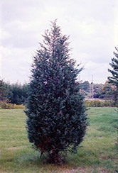 Moffett Juniper (Juniperus scopulorum 'Moffettii') at Jensen's Nursery & Landscaping