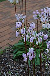 Shooting Star (Dodecatheon meadia) at Jensen's Nursery & Landscaping