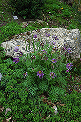 Pasqueflower (Pulsatilla vulgaris) at Jensen's Nursery & Landscaping