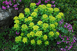 Cushion Spurge (Euphorbia polychroma) at Jensen's Nursery & Landscaping