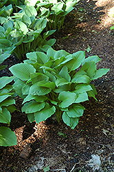 Erromena Hosta (Hosta undulata 'Erromena') at Jensen's Nursery & Landscaping