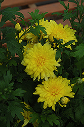 Morden Canary Chrysanthemum (Chrysanthemum 'Morden Canary') at Jensen's Nursery & Landscaping