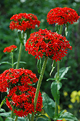 Maltese Cross (Lychnis chalcedonica) at Jensen's Nursery & Landscaping