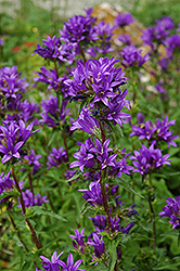 Clustered Bellflower (Campanula glomerata) at Jensen's Nursery & Landscaping