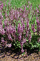 Rose Queen Sage (Salvia nemorosa 'Rose Queen') at Jensen's Nursery & Landscaping