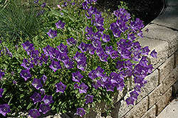 Blue Clips Bellflower (Campanula carpatica 'Blue Clips') at Jensen's Nursery & Landscaping