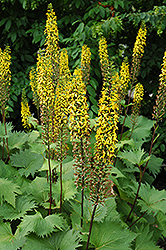The Rocket Rayflower (Ligularia 'The Rocket') at Jensen's Nursery & Landscaping