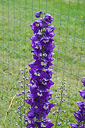 Blue Fountains Larkspur (Delphinium 'Blue Fountains') at Jensen's Nursery & Landscaping