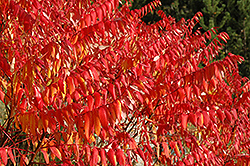 Smooth Sumac (Rhus glabra) at Jensen's Nursery & Landscaping