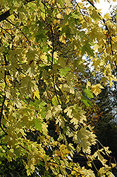 Silver Maple (Acer saccharinum) at Jensen's Nursery & Landscaping