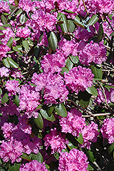 P.J.M. Rhododendron (Rhododendron 'P.J.M.') at Jensen's Nursery & Landscaping