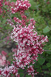 Tinkerbelle Lilac (Syringa 'Tinkerbelle') at Jensen's Nursery & Landscaping