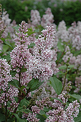 Coral Lilac (Syringa x prestoniae 'Coral') at Jensen's Nursery & Landscaping