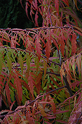 Tiger Eyes® Sumac (Rhus typhina 'Bailtiger') at Jensen's Nursery & Landscaping