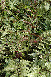 Japanese Painted Fern (Athyrium nipponicum 'Metallicum') at Jensen's Nursery & Landscaping