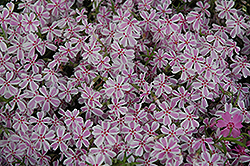 Candy Stripe Moss Phlox (Phlox subulata 'Candy Stripe') at Jensen's Nursery & Landscaping