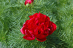 Double Fernleaf Peony (Paeonia tenuifolia 'Flore Plena') at Jensen's Nursery & Landscaping