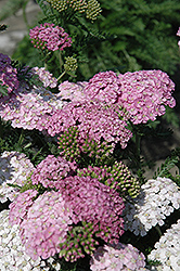 Apple Blossom Yarrow (Achillea millefolium 'Apple Blossom') at Jensen's Nursery & Landscaping