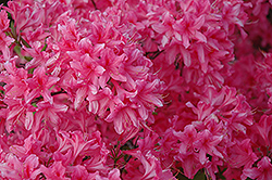 Rosy Lights Azalea (Rhododendron 'Rosy Lights') at Jensen's Nursery & Landscaping