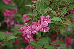 Minuet Weigela (Weigela florida 'Minuet') at Jensen's Nursery & Landscaping