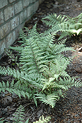 Ghost Fern (Athyrium 'Ghost') at Jensen's Nursery & Landscaping