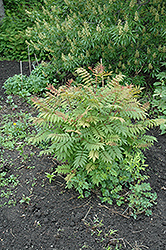 Sem False Spirea (Sorbaria sorbifolia 'Sem') at Jensen's Nursery & Landscaping