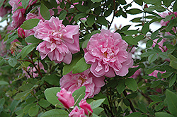 Therese Bugnet Rose (Rosa 'Therese Bugnet') at Jensen's Nursery & Landscaping