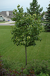 Golden Eclipse Japanese Tree Lilac (Syringa reticulata 'Golden Eclipse') at Jensen's Nursery & Landscaping