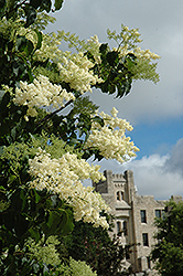 Ivory Silk Japanese Tree Lilac (Syringa reticulata 'Ivory Silk') at Jensen's Nursery & Landscaping