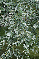 Silver Willow (Salix alba 'Sericea') at Jensen's Nursery & Landscaping