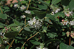 Snowberry (Symphoricarpos albus) at Jensen's Nursery & Landscaping