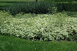 Variegated Bishop's Goutweed (Aegopodium podagraria 'Variegata') at Jensen's Nursery & Landscaping