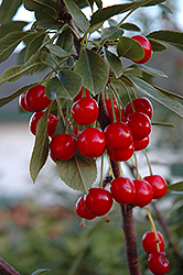 Evans Cherry (Prunus 'Evans') at Jensen's Nursery & Landscaping