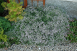 Common Baby's Breath (Gypsophila paniculata) at Jensen's Nursery & Landscaping