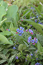 Little Star Lungwort (Pulmonaria 'Little Star') at Jensen's Nursery & Landscaping