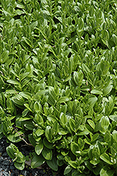 Solomon's Seal (Polygonatum humile) at Jensen's Nursery & Landscaping