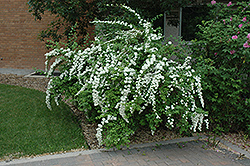 Snow White Spirea (Spiraea 'Snow White') at Jensen's Nursery & Landscaping