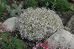 Creeping Baby's Breath (Gypsophila repens) at Jensen's Nursery & Landscaping